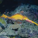Weedy Seadragon male with eggs by Erik Schlogl
