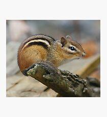Chipmunk Photographic Print