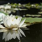 White water lily by Talida Pacurar
