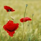 Poppies by Talida Pacurar