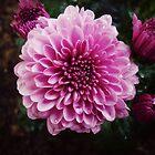 Purple Mums by FrankieCat