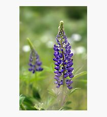 Lupin Blooms Photographic Print