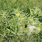 Four Stages of Longhorn Milkweed, or Zizotes Milkweed by Navigator
