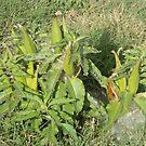 Longhorn Milkweed Seed Pods, Zizotes Milkweed by Navigator