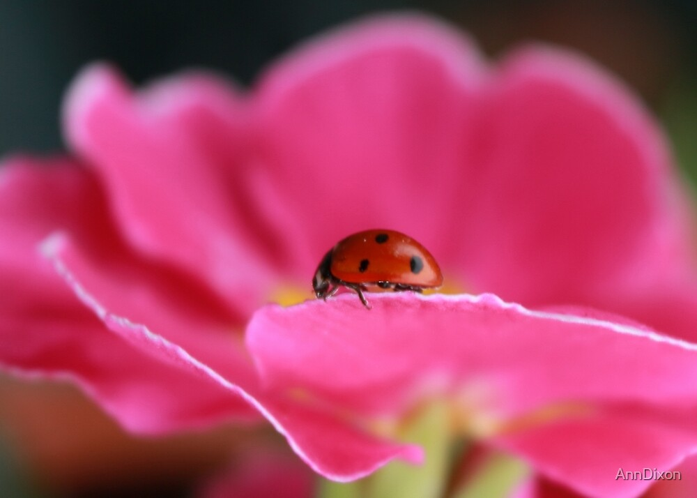 Ladybird on Primula by AnnDixon