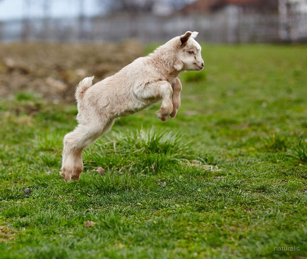 Baby goat jumping by naturalis
