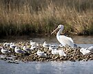 "White Pelican and his ""Groupies"" by wolftinz"
