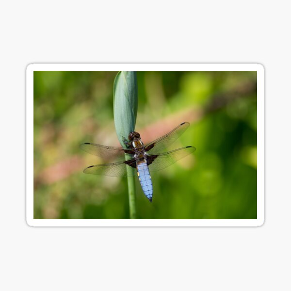 Broad-bodied chaser Sticker