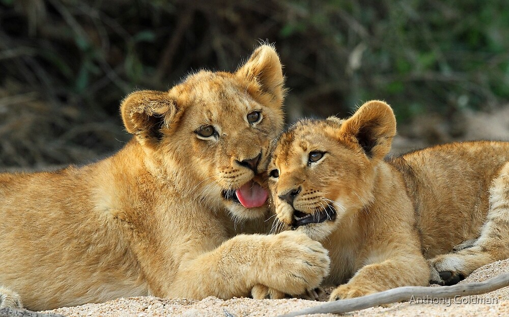 Cuddly cubs by Anthony Goldman