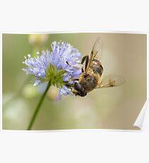 zweefvlieg op blauwe bloem Poster