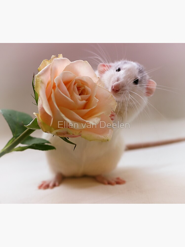 A rose for you... by Ellen