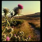 Thistle at Ben Lawers by munros