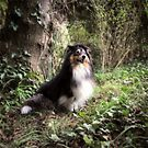 Sheltie in the woods (watching squirrels) by Nicky Stewart