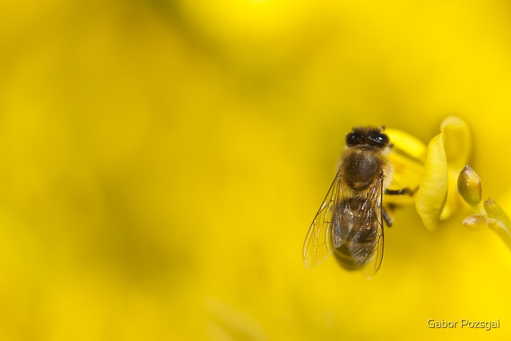 Honeybee (Apis mellifera) by Gabor Pozsgai