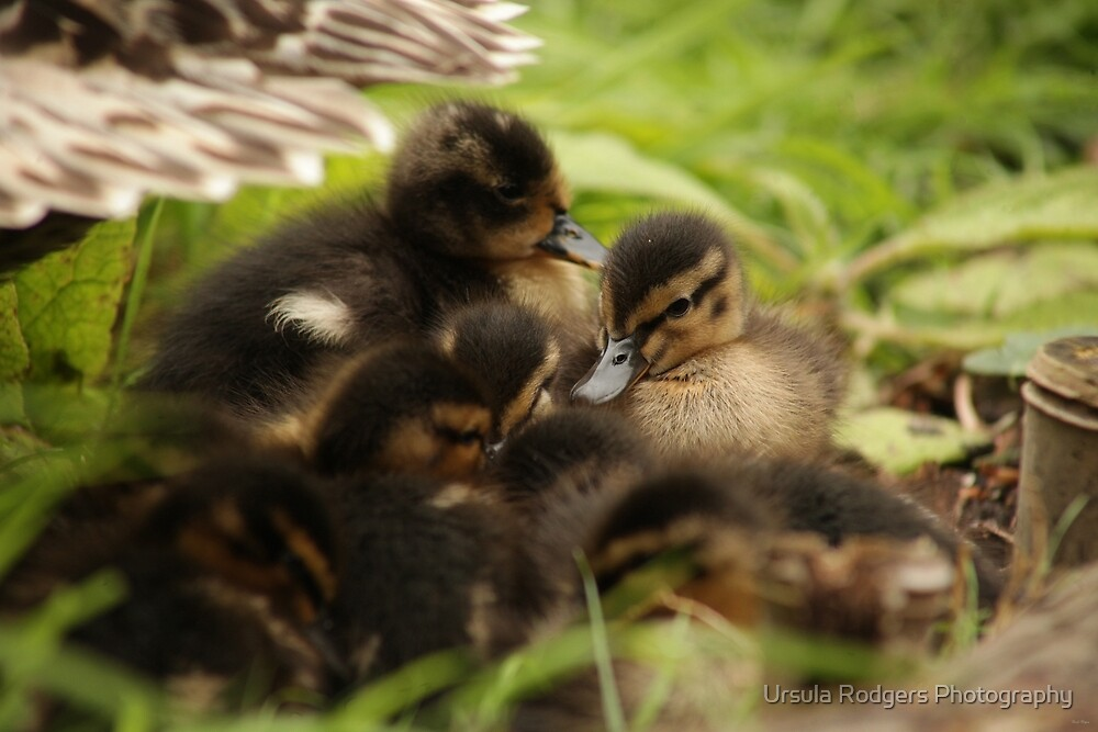 Huddle by Ursula Rodgers Photography