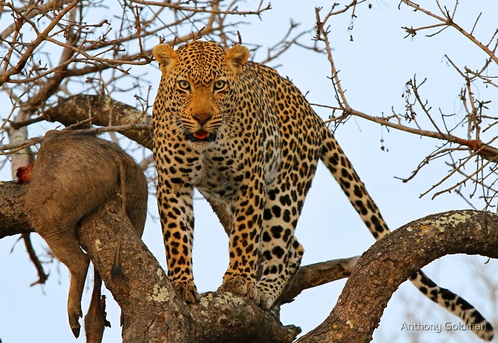 Male leopard with catch! by Anthony Goldman