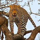 Male leopard with catch! by jozi1
