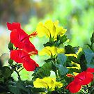 Red and Yellow Hibiscus by Robin Monroe