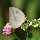 Orange Sulphur by Richard G Witham