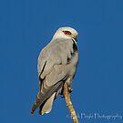 Black shouldered Kite by Rick Playle