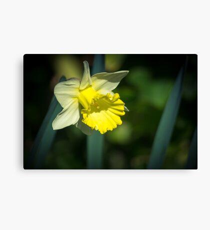 A Pretty little Daffodil Canvas Print