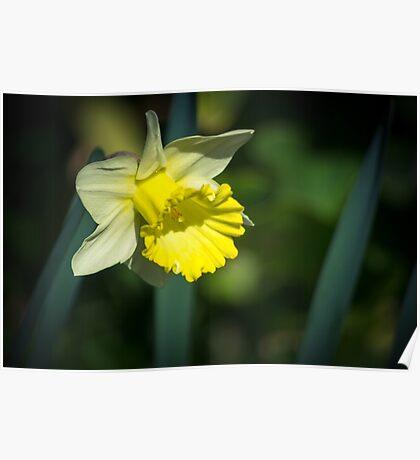 A Pretty little Daffodil Poster