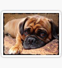 Perfect Pug Sticker