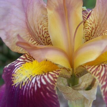 Iris by Coloursofnature
