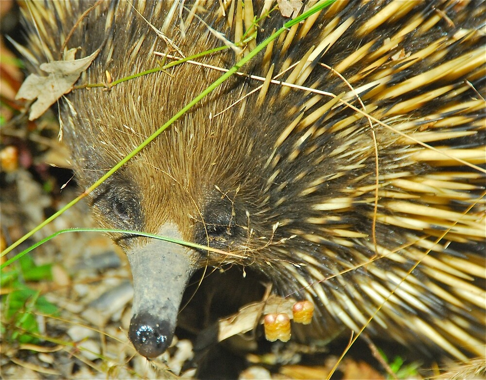 Echidna Peekaboo by Penny Smith