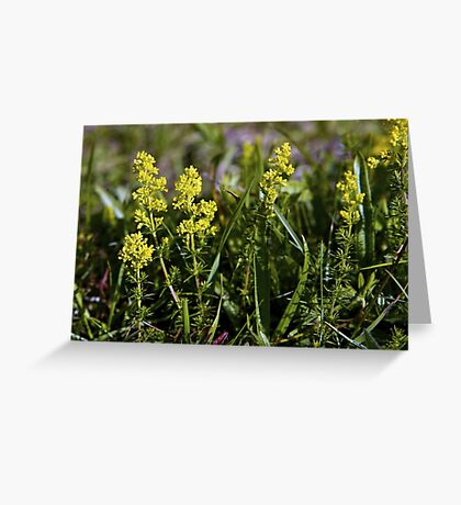 Galium Verum (Lady's Bedstraw), Inishmore, Aran Islands Greeting Card