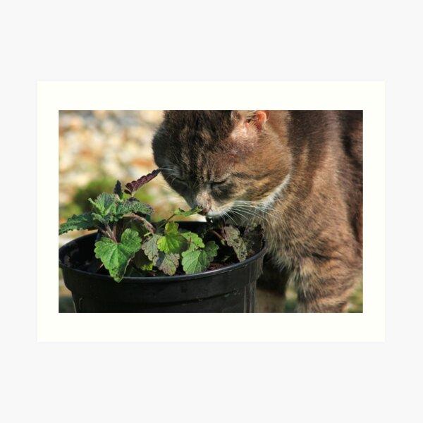 Tabby cat sniffing catnip plant Art Print
