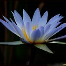 IN BLUE - THE WATERLILY - – Nymphaea nouchall by Magriet Meintjes