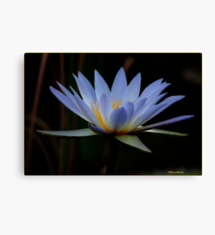 IN BLUE - THE WATERLILY - – Nymphaea nouchall Canvas Print