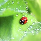 Ladybird and raindrops by turniptowers