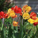 Tulips in sunlight by Maryna Gumenyuk