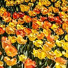 Tulip Wave by Jessica Manelis