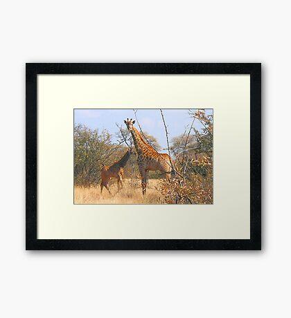 THE LATEST NEW COMMER!  The Giraffe baby ! Framed Print