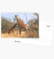 THE LATEST NEW COMMER!  The Giraffe baby ! Postcards