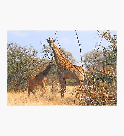 THE LATEST NEW COMMER!  The Giraffe baby ! Photographic Print