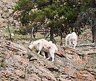 Mountain Goats on a cliff @ Yukon Wildlife Preserve by Yukondick