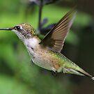 Female Hummingbird by Anthony Goldman