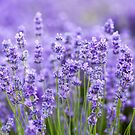 Lavender Field by Candypop