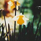 Daffodils 1 by Maisie Woodward