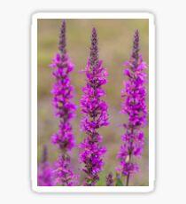 Purple loosestrife Sticker