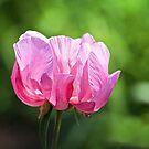 Pink Peony by PhotosByHealy