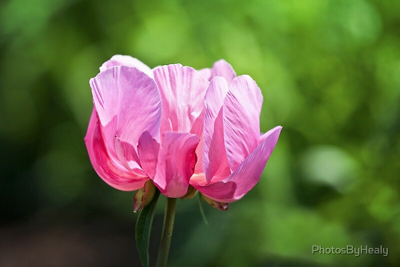 Pink Peony by Photos by Healy