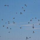 A Multitude of Murres in Flight Near Bay Bulls, NL, Canada by Gerda Grice