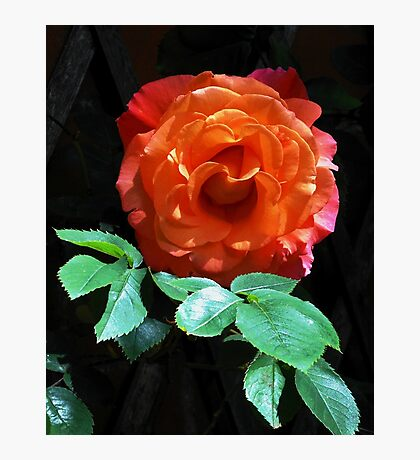 Leaf me alone! Glowing Miniature Rose Photographic Print