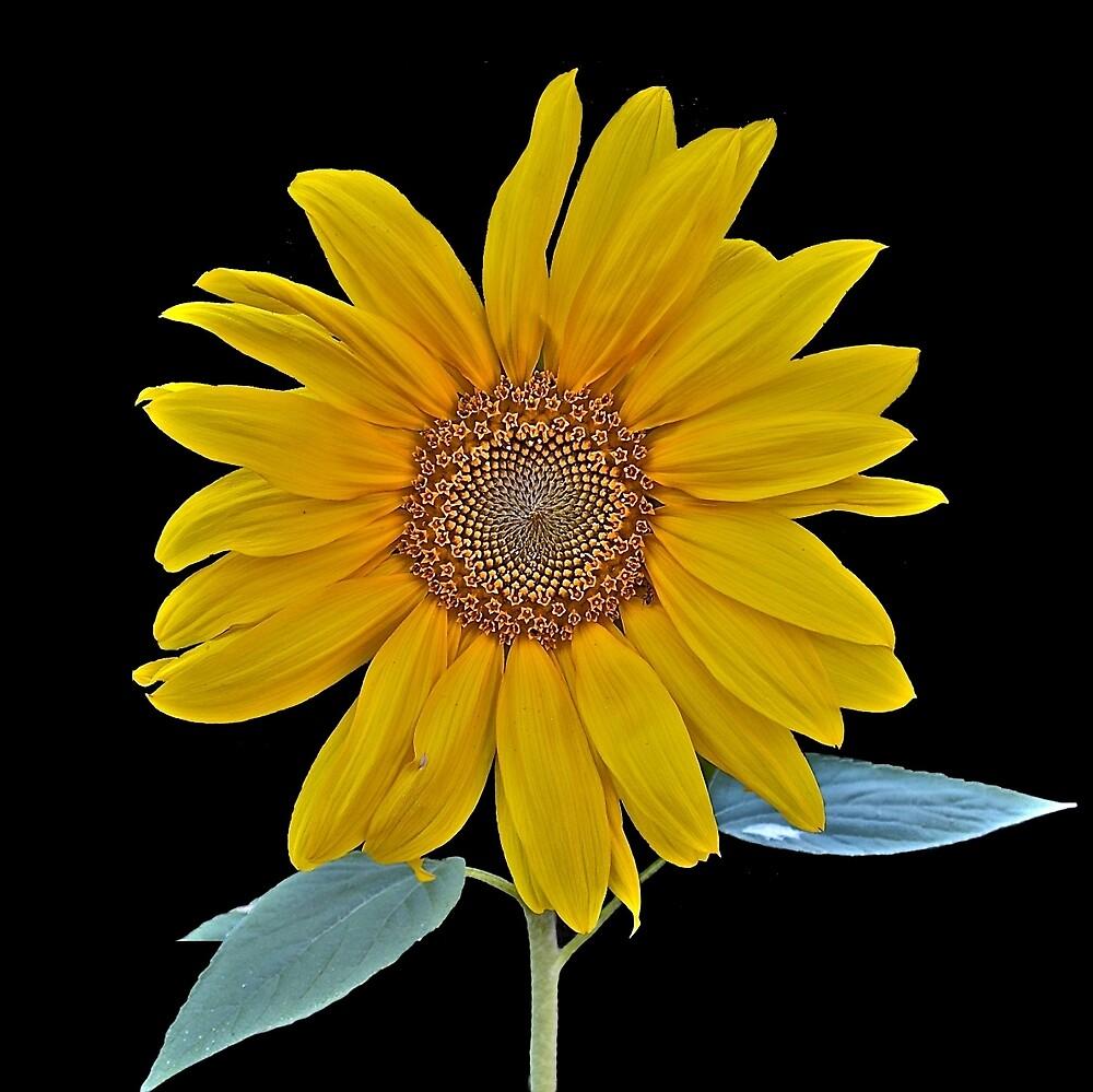 Sunflower in Black + Ant by John Thurgood
