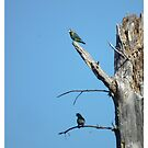 Parrot on pine tree by Shaun Swanepoel